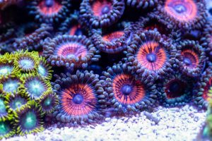 The Best Corals for the Bottom of a Reef Tank